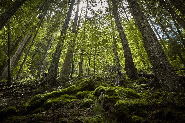 Pădurile virgine au mai scăpat de un atac