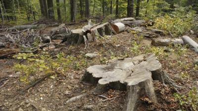 ONG american de mediu: Schweighofer continuă să achiziţioneze lemn din mai multe parcuri naţionale