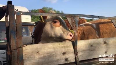 Recomandarea Parlamentului European la finalul anchetei: exportul de animale vii să fie înlocuit cu export de carcase și carne