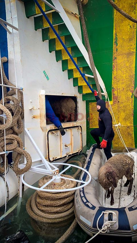 UPDATE Dezastru Midia: Intervenție târzie, dar onorabilă, a Guvernului pentru salvarea ultimelor animale vii de pe Queen Hind