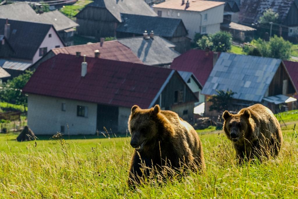 Apel WWF către Camera Deputaților: Problema urșilor are ca rezolvare intervenția promptă și măsurile de prevenție, nu vânătoarea