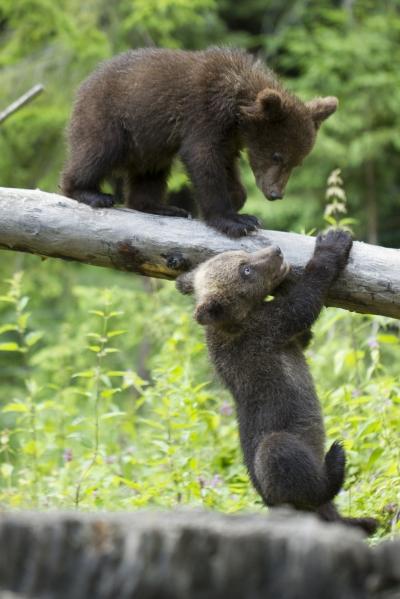 WWF-România lansează Bearflix, primul serviciu de streaming care ajută ursuleții orfani