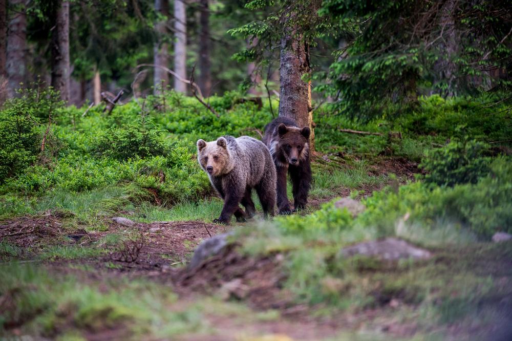 Vânătoarea urșilor, o măsură care trebuie justificată cu date credibile