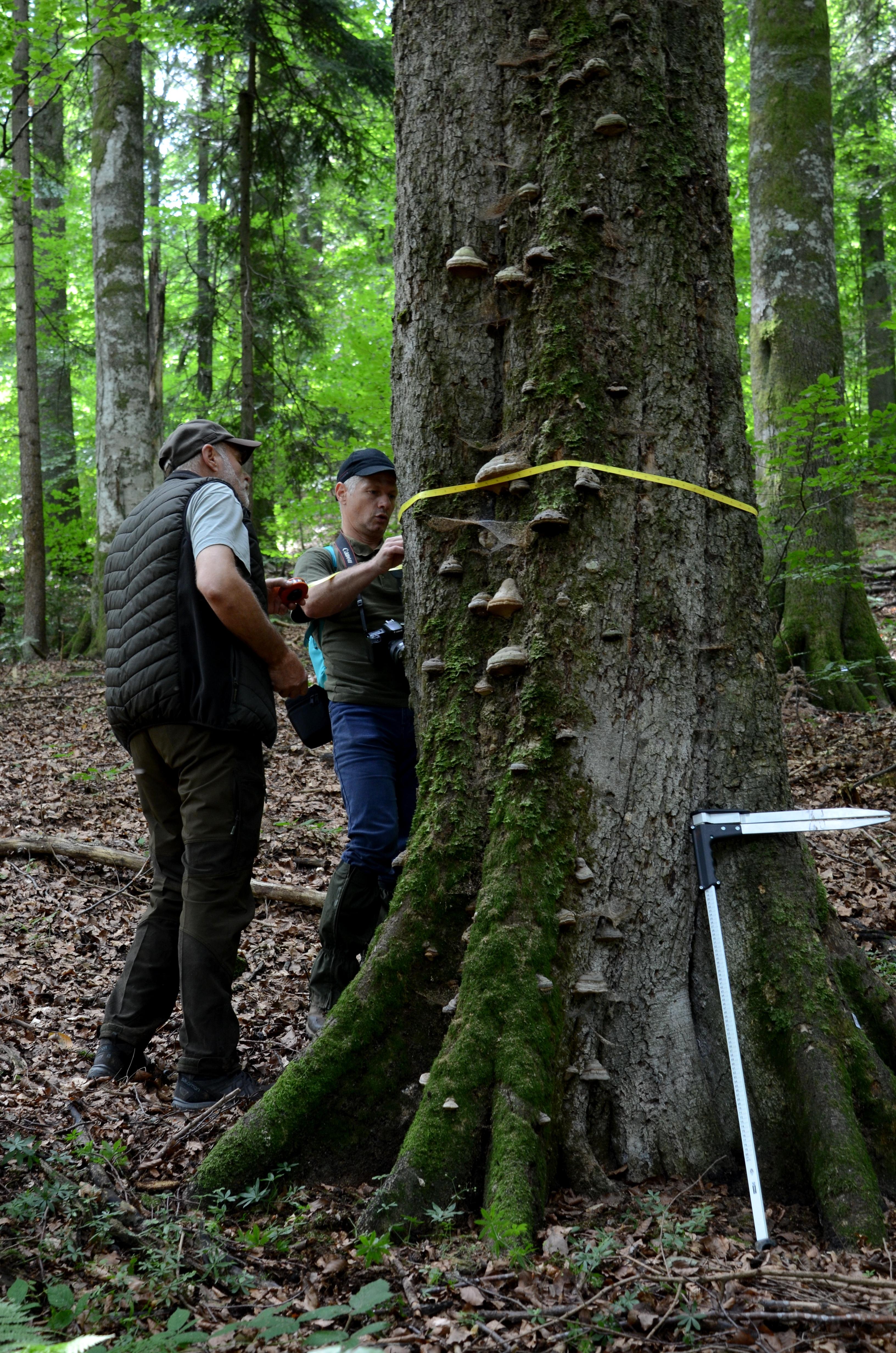 WWF-România lansează în premieră un raport legat de managementul lemnului mort în zona transfrontalieră România - Ucraina