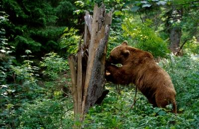 OUG pentru intervenția în cazul atacurilor urșilor lasă decizia la latitudinea politicului de la nivel local